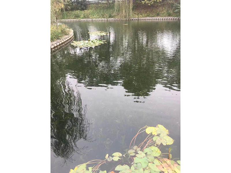 沉水植物伊乐藻